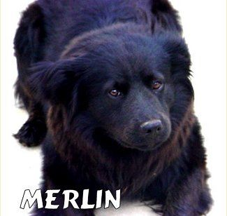 Merlin The Labrador Chow Chow Mix Reminds Me Of Olly And Tess