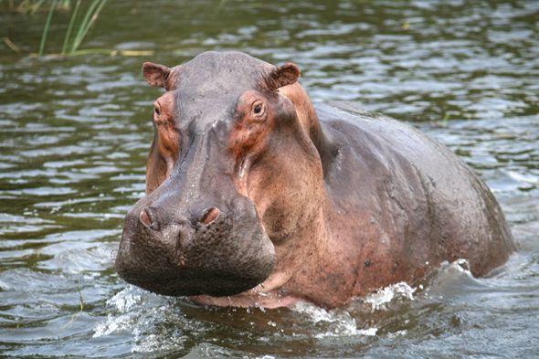 hippo-river-uganda.jpg (590×393)