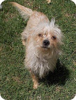 Phoenix Az Yorkie Yorkshire Terrier Cairn Terrier Mix Meet