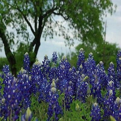 Texas Bluebonnet (Lupinus Texenis) - No wildflower is so well known as Texas Bluebonnet. It's easily grown from Texas Bluebonnet seeds, and it can transform a field of little interest into a colorful