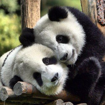 NOW THIS IS PANDA LOVE♡♡♡♡♡