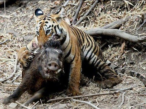 Wild Boar Attacks Human THE TOP 10 || TOP 10 T...