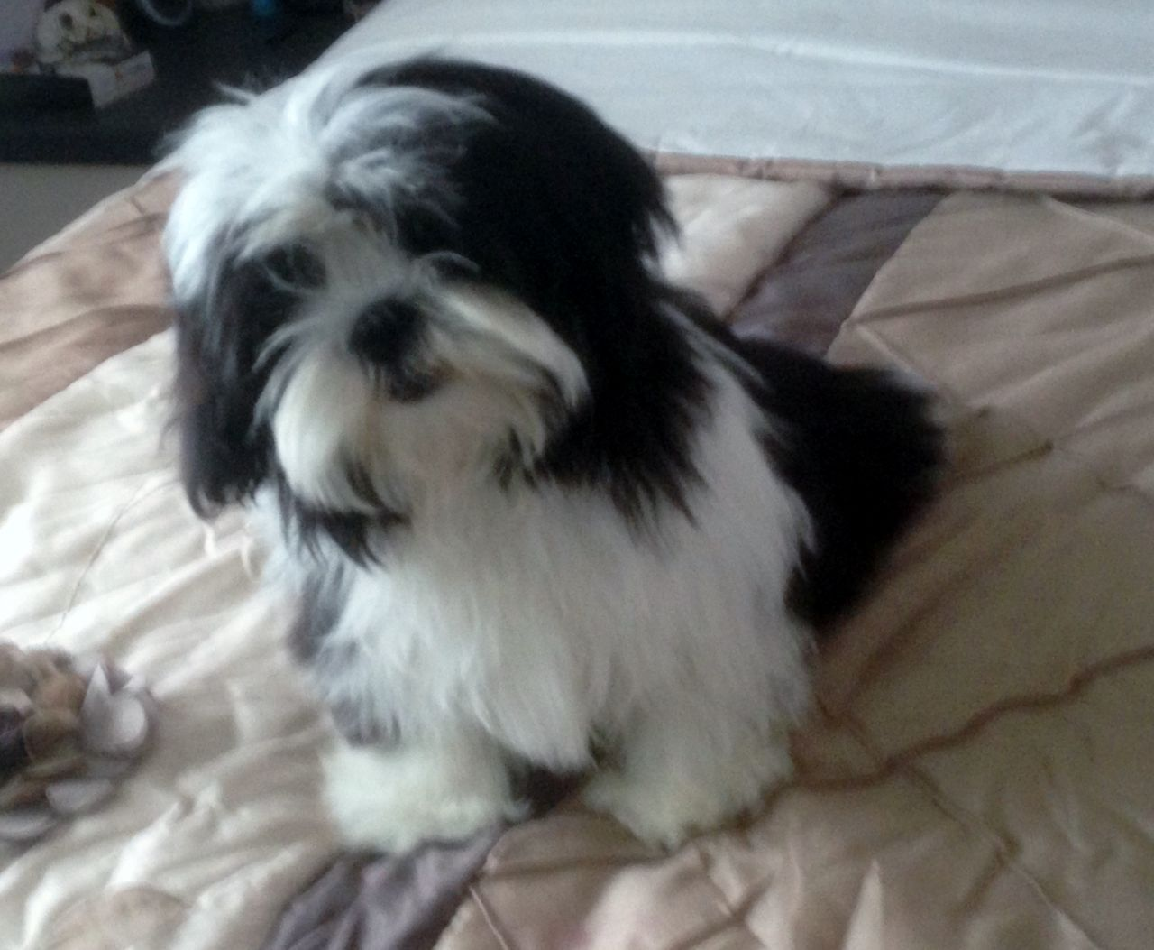 Images Of Maltese X Shihtzu Dogs Google Search Dogs Shih Tzu