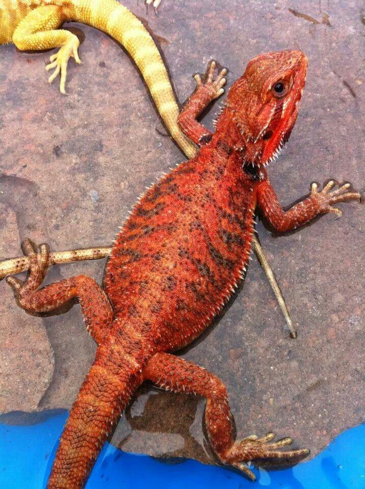 Josh S Dragonz Cherry Cute Reptiles Bearded Dragon Red Bearded