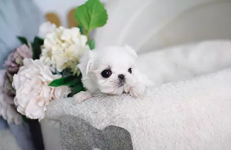 Sunshine Teacup Maltese Sunshine Teacup Maltese Home Maltese Puppies In Alabama Maltese Puppies For S In 2020 Maltese Puppies For Sale Maltese Puppy Puppies For Sale