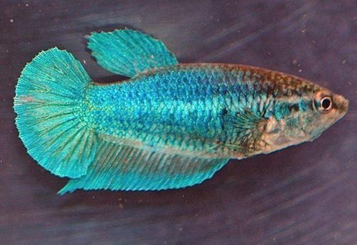 Female Betta Guide A Rainbow Of Colors Betta Betta Fish Aquarium Fish