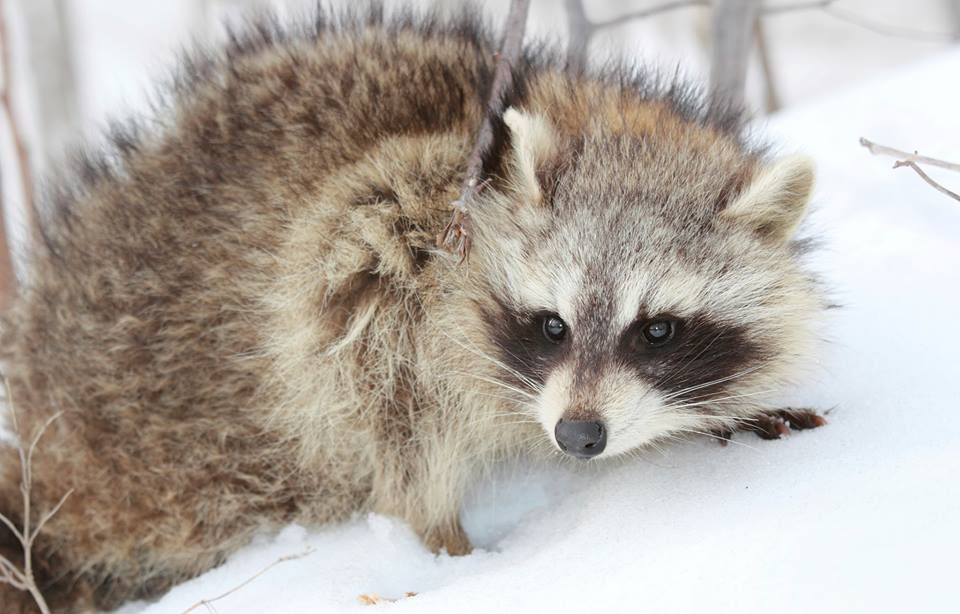 What Are The Benefits Of Raccoon Removal In Rockville Maryland Raccoon Removal Rockville Maryland Raccoon