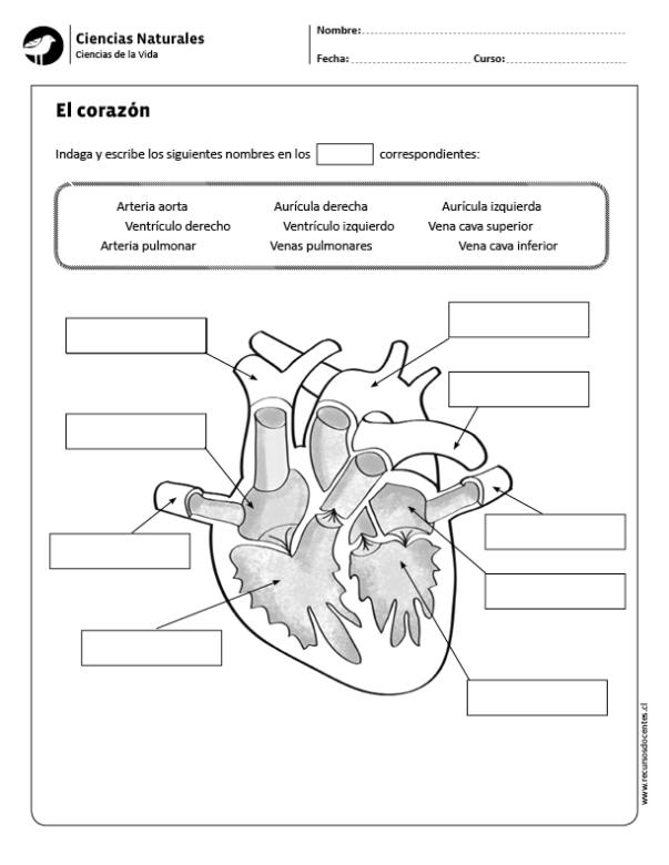 El corazón | เกม | Pinterest | Life science, Math and Language