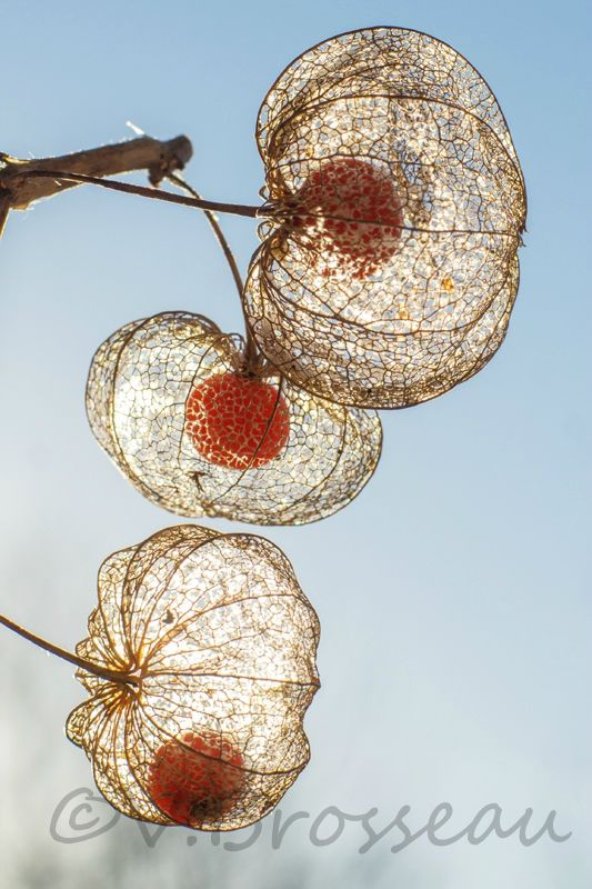 dentelles nature motion 21 nature fleurs. Black Bedroom Furniture Sets. Home Design Ideas
