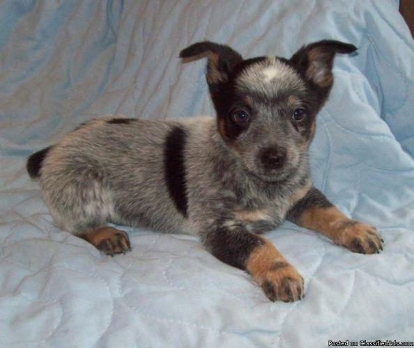 ♥GENO♥ 104 QUEENSLAND HEELER PUP Australian cattle dog