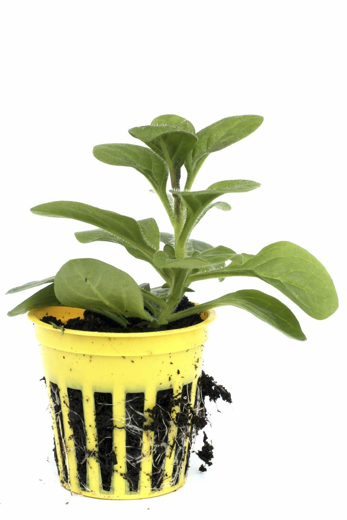 petunia winter care u2013 can you overwinter a petunia plant