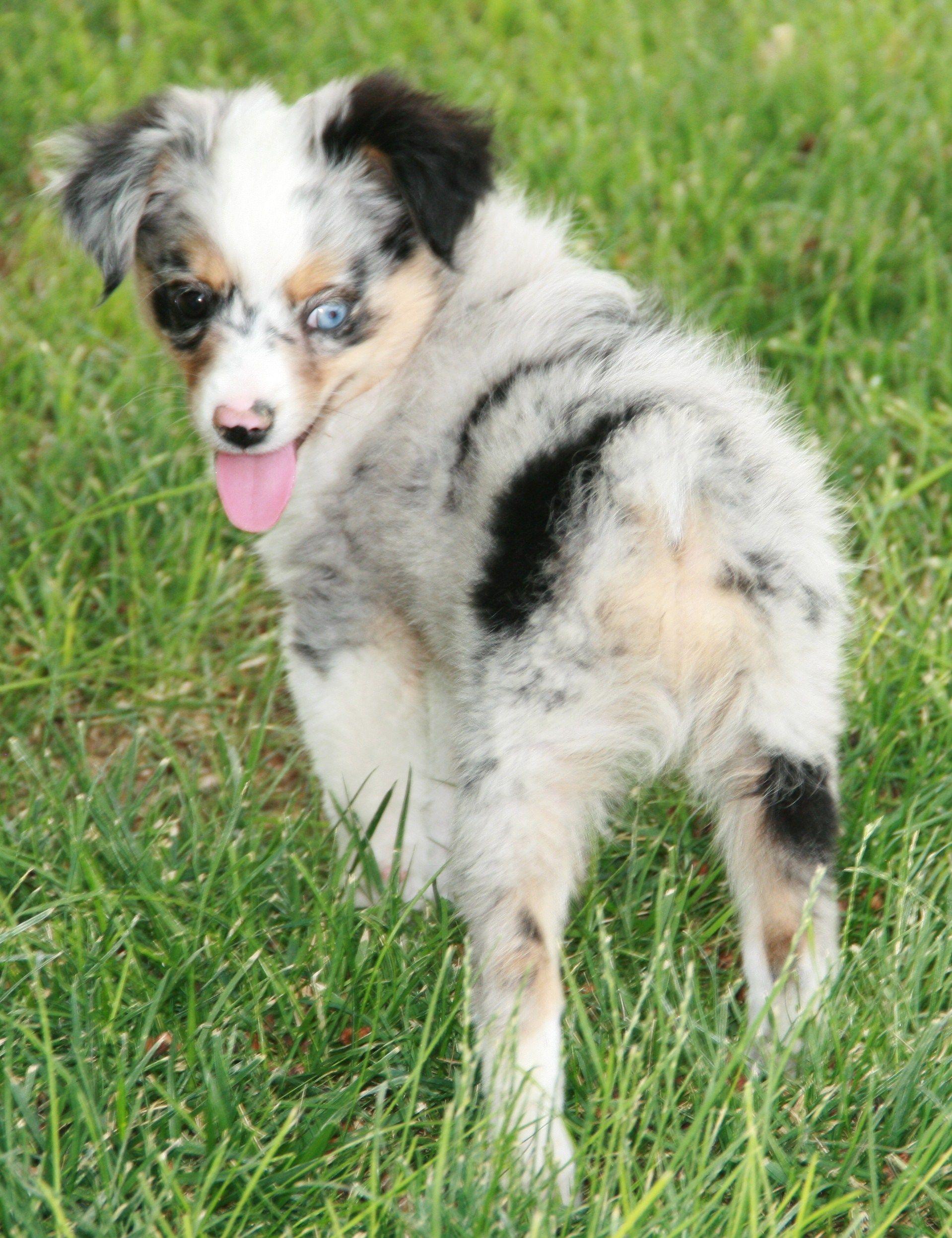 Toy Australian Shepherd Puppies For Sale red merle