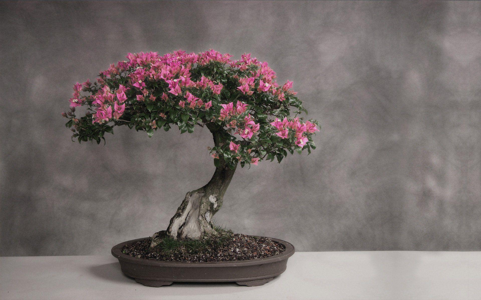 Cherry Blossom Bonsai Trees Cherry Blossom Bonsai Tree Flowering Bonsai Tree Bonsai Tree Tattoos