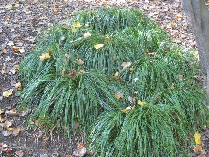 Carex Texensis Texas Sedge Perfect Lawn Alternative In Small
