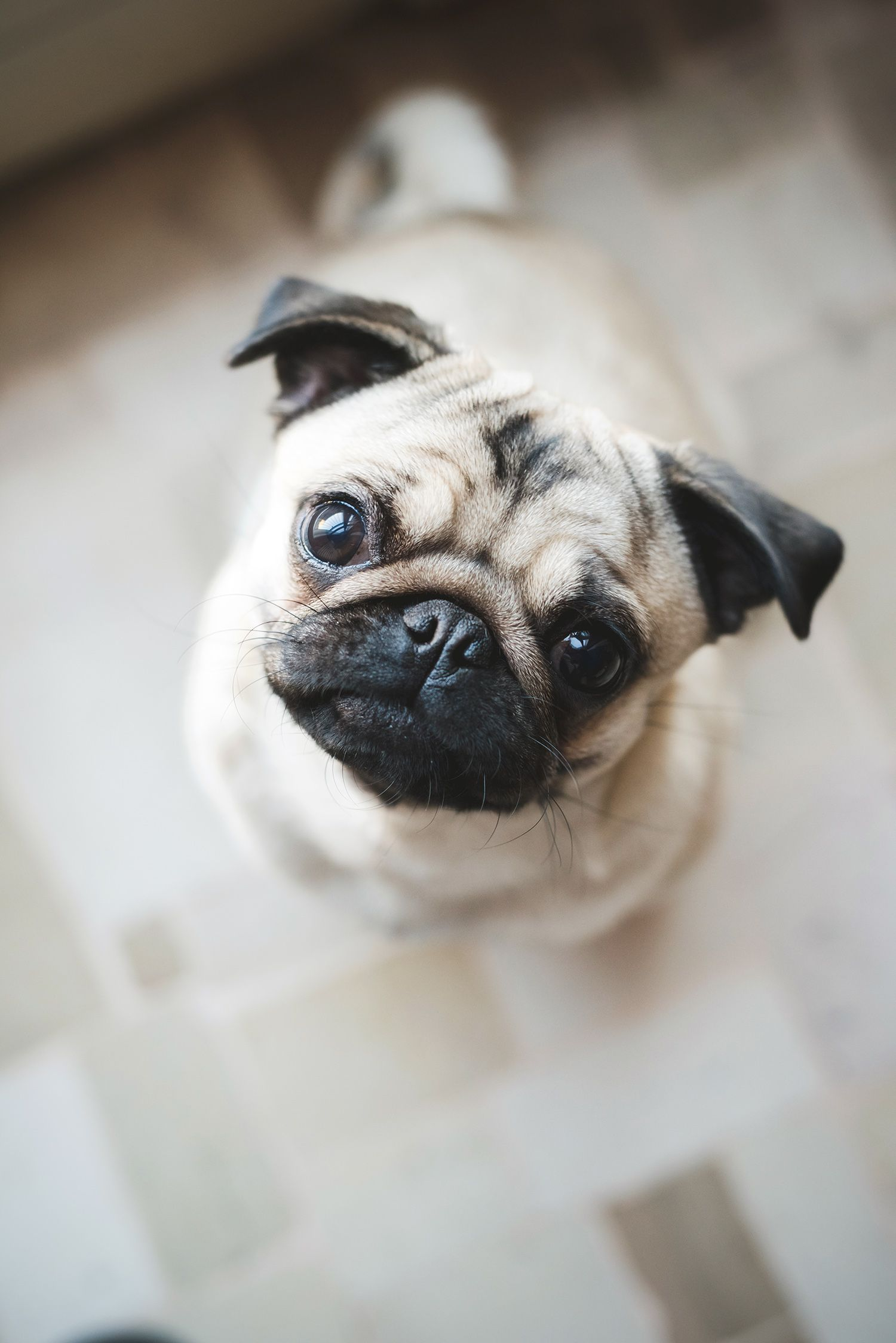10 Overlooked Dog Breeds That Make For Great Family Pets Pug Puppies Cute Pugs Puppies