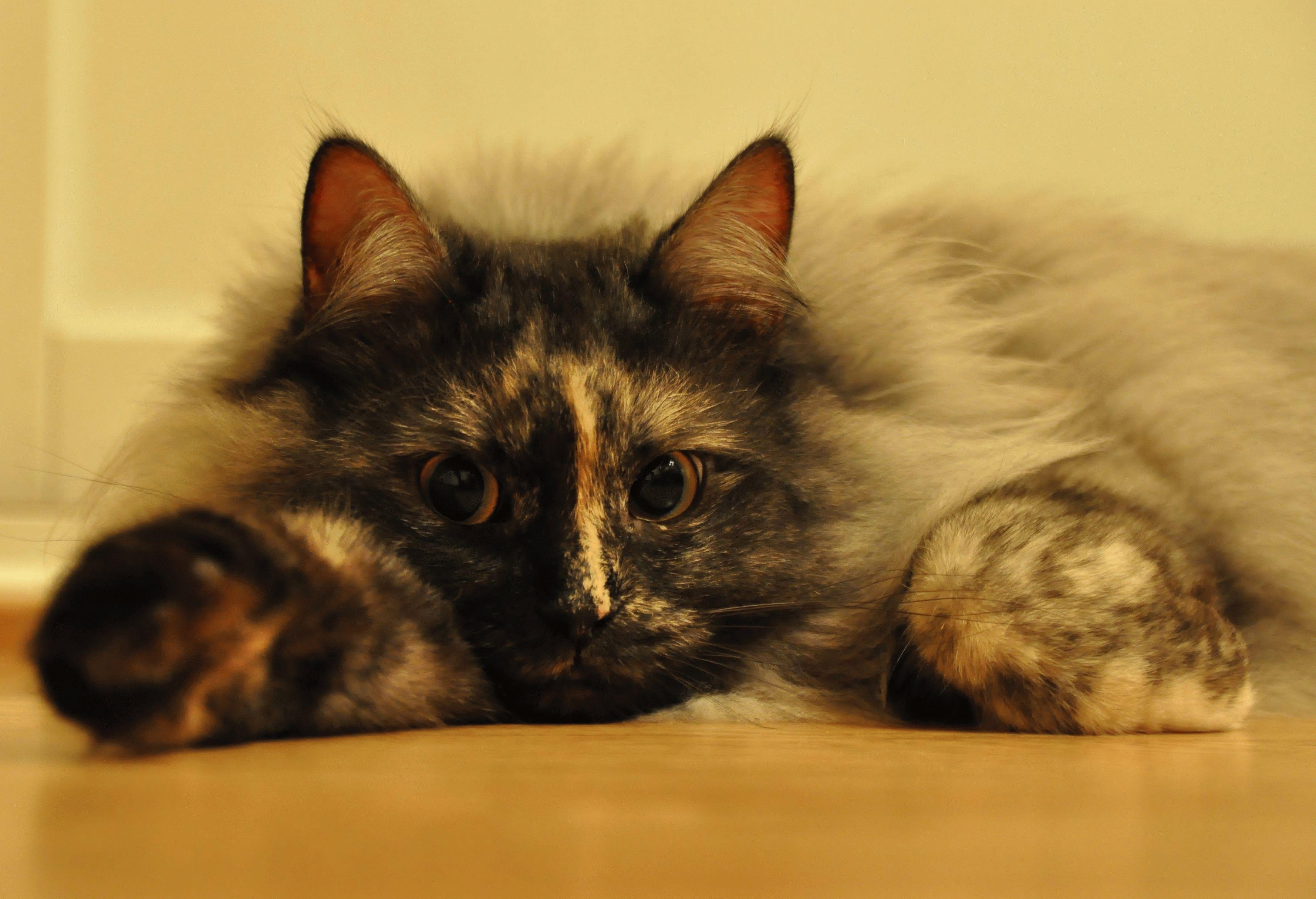Сибирская кошка | Кошки, Котята