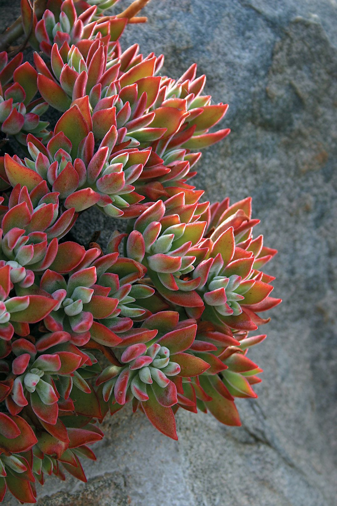 Frilly Echeverias: The Fairest Succulents of Them All ...