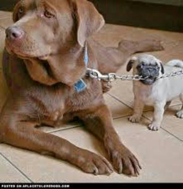 Pin By Andrew Francis On Pugs Puppies And Pets Big Dog Little