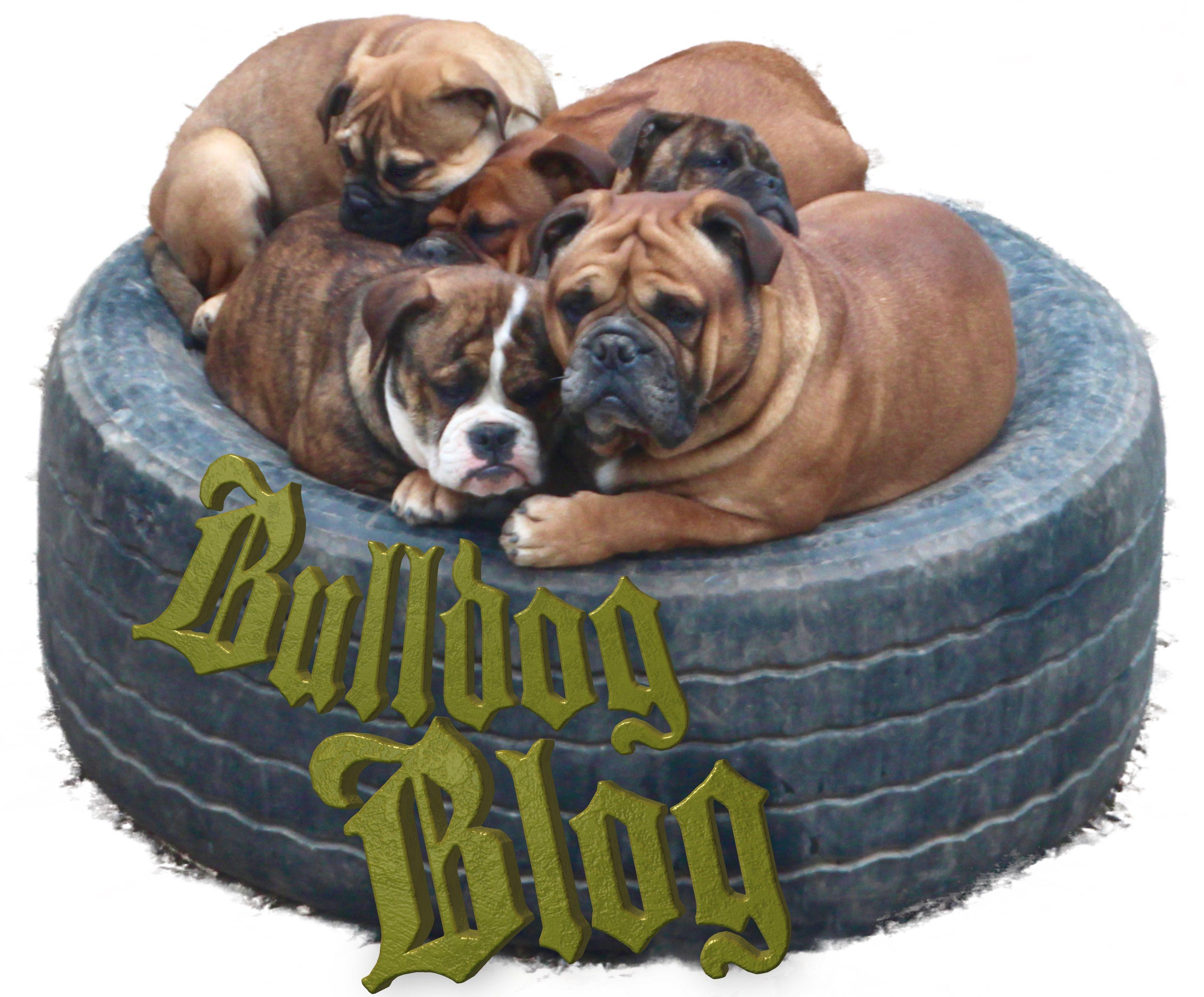 Our New Bulldog Blog Ap Visit Http Www Asgards Pride Com Blog Continental Bulldog Schosshund Kennel Hund