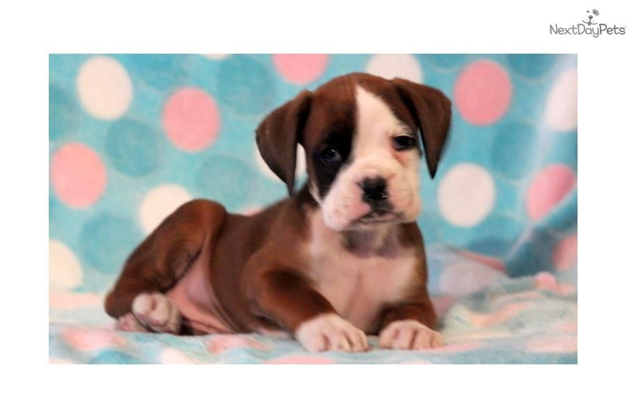 Zachary Boxer Male Boxer Puppy For Sale Near Lancaster