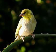 white-bellied-canary - Google Search