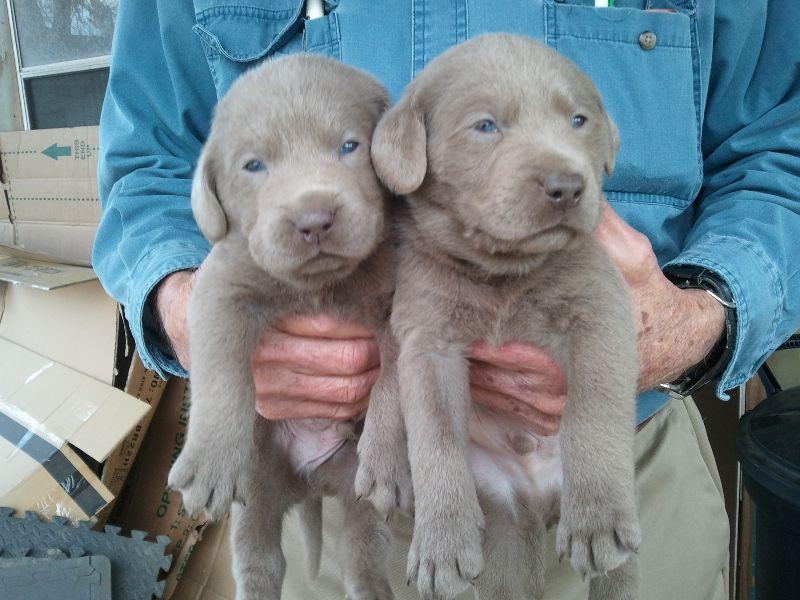 About Labrador Retrievers Lab Puppies