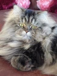 Stuey Is 10 Yrs Himalayan Declawed He Loves Snuggling Good With Cats Adoptable From Feline Rescue Outreach St Paul Mn Call Himalayan Cat Cats Fur Kids