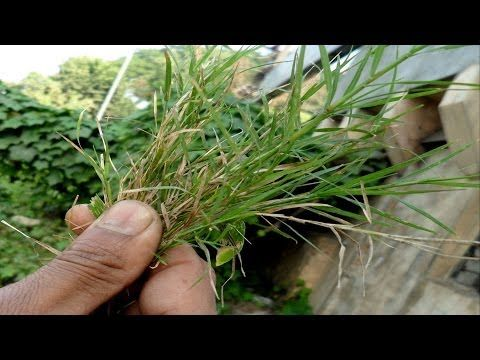 Paragis Benefits Goosegrass 100 Natural Youtube Herbalism Health Health Remedies