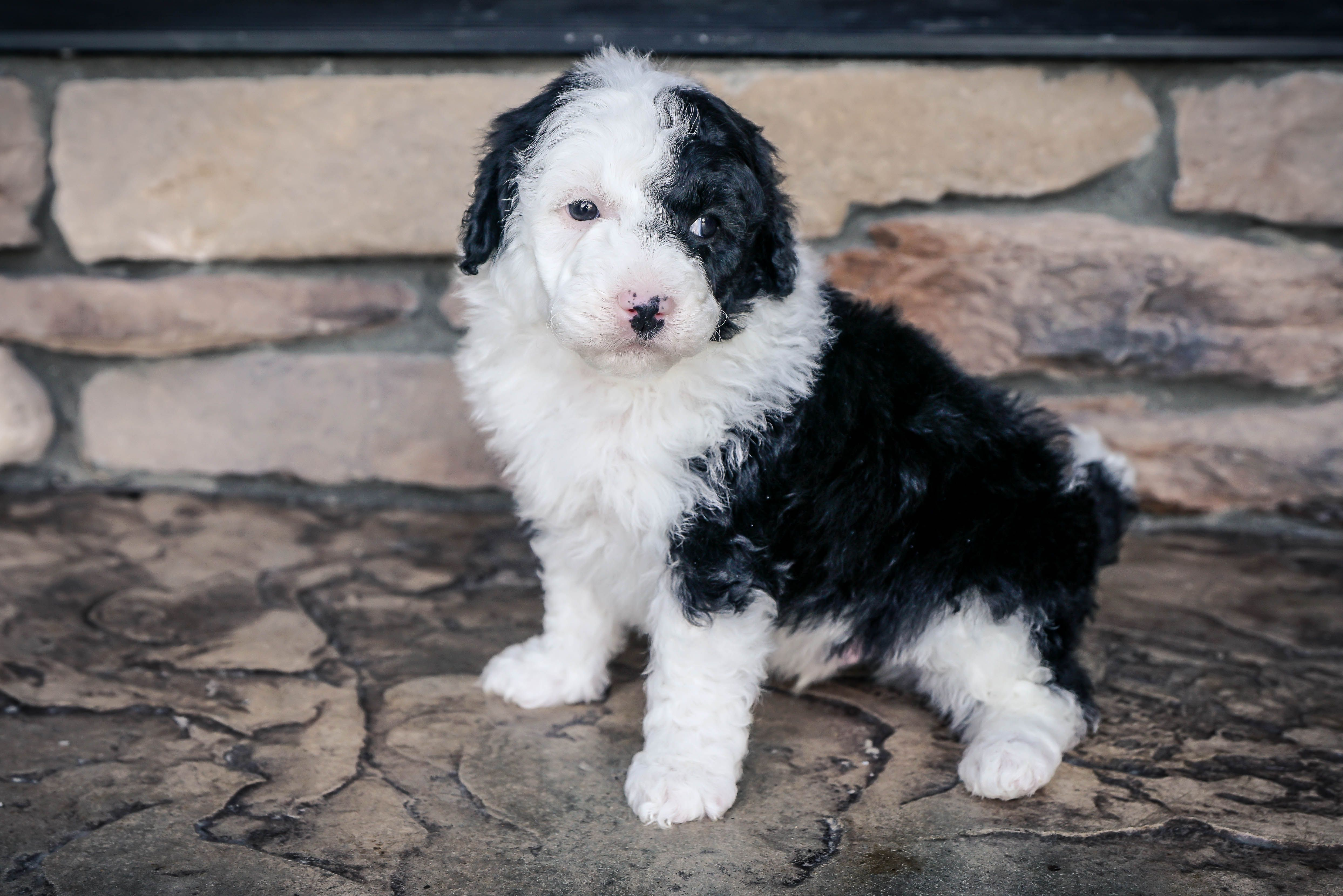Sold Finn Male Mini Sheepadoodle For Sale In Sugarcreek Ohio