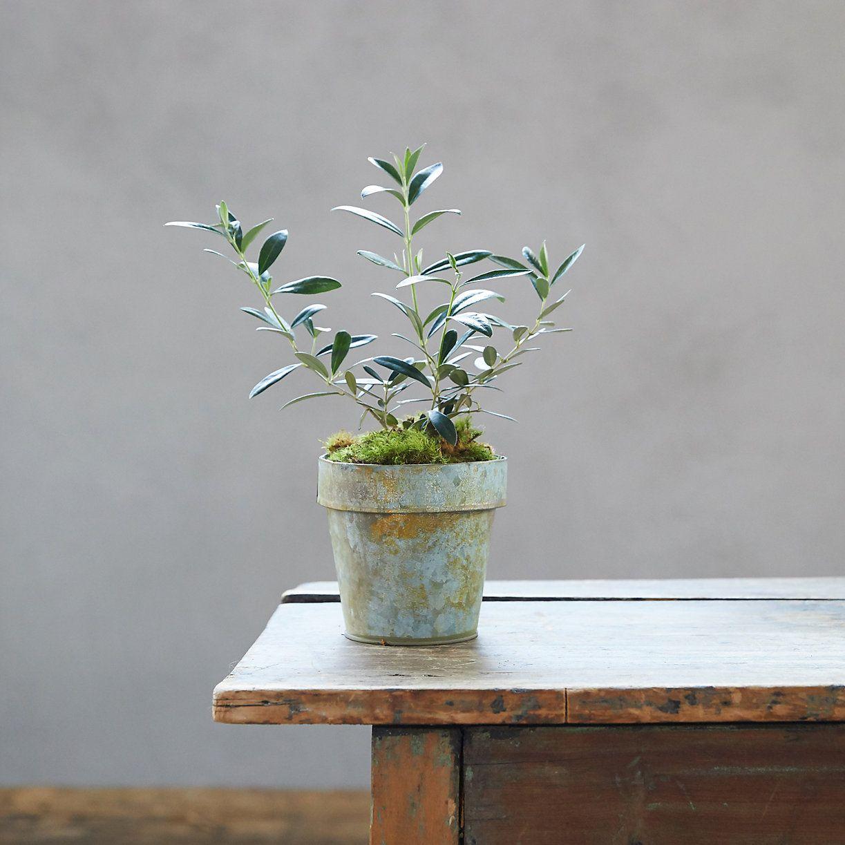 Olive Tree, Metal Pot Plants, House plants, Winter plants