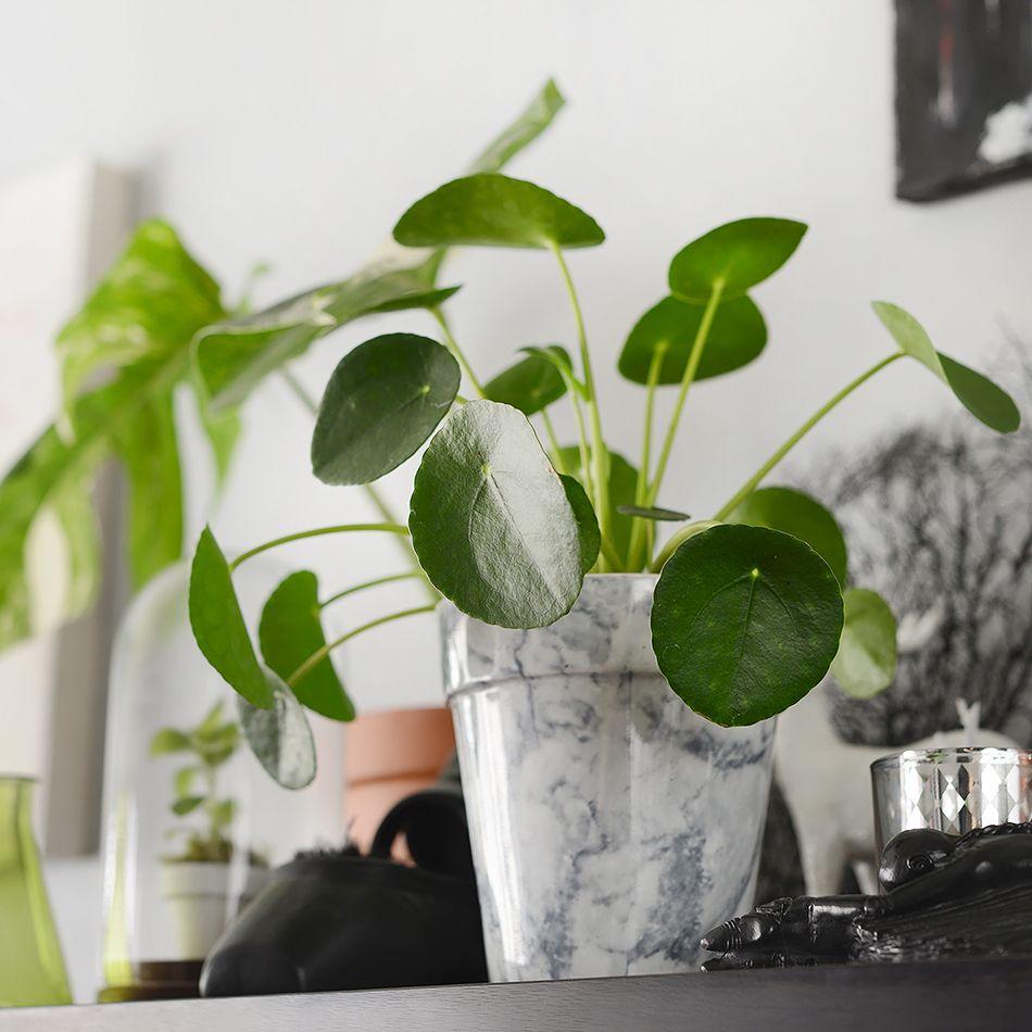 pilea peperomioides my green appartement pinterest. Black Bedroom Furniture Sets. Home Design Ideas
