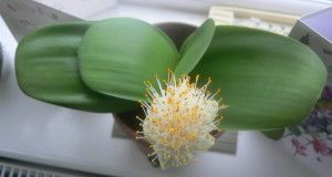 Brush-like tiy white florets on Haemanthus albiflos