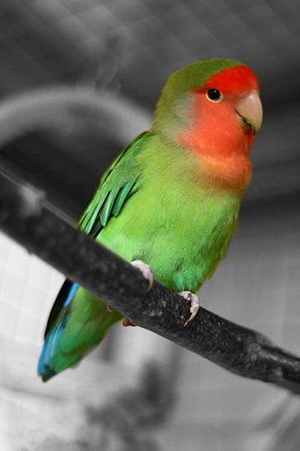 Peach Faced Lovebird Flickr Photo Sharing