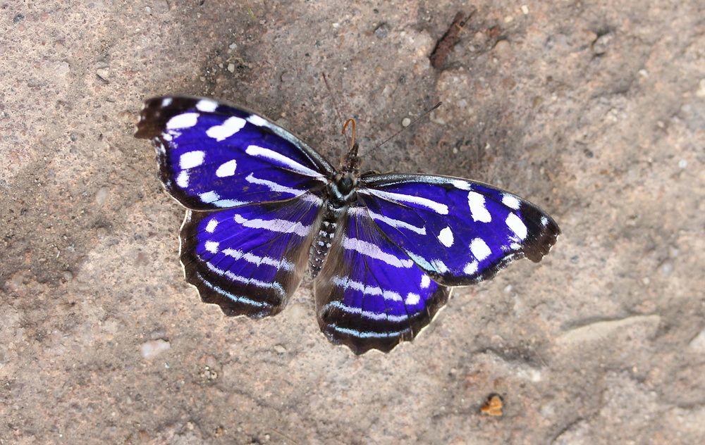 Fleck Schillerfalter Falter Schmetterling Schone Schmetterlinge