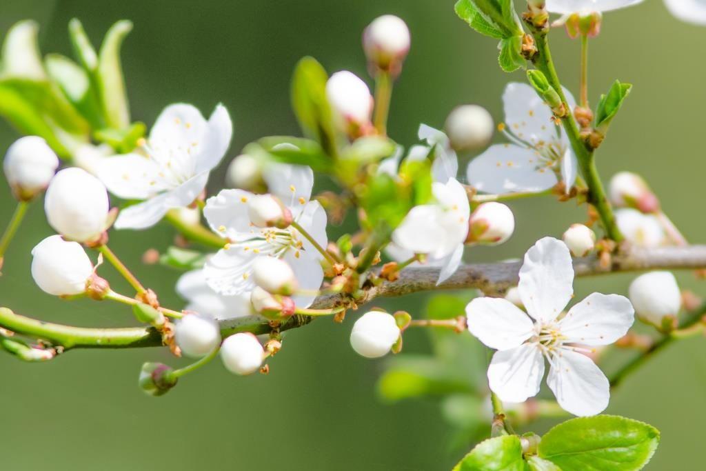 Kiresbærblomster_slider