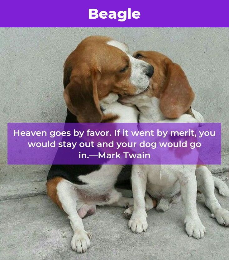 Beagle Dog Beaglebaby Beagles Facts Beagle Beagle Beagle