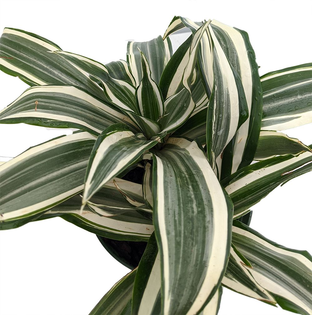 White Stripe Dragon Tree Dracaena Warneckii 6 Pot Easy To Grow House Plant Walmart Com In 2020 Dragon Tree Plants House Plants