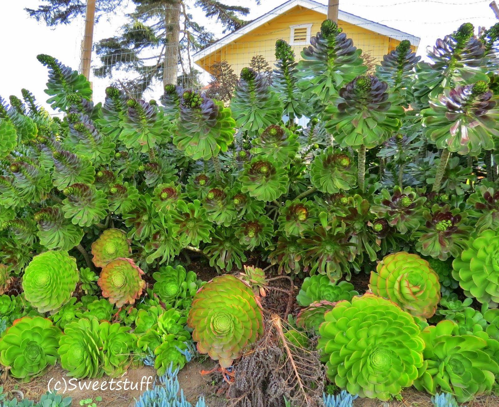 Sweetstuff's Sassy Succulents
