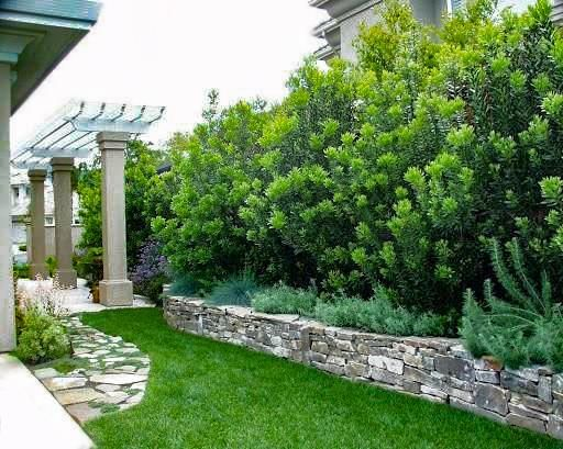 Wax Myrtle In 2020 Privacy Landscaping Privacy Trees Backyard Landscaping