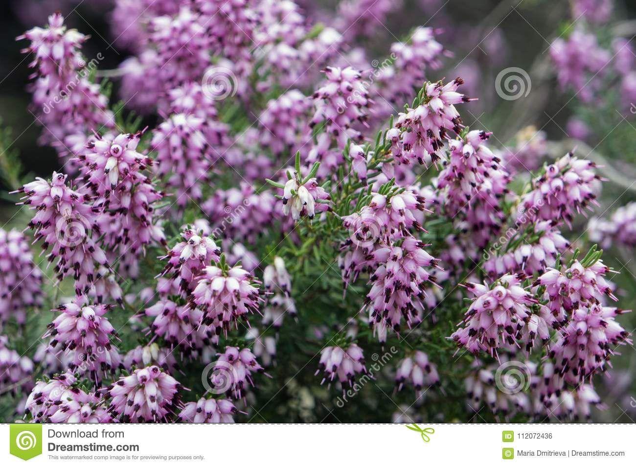 Purple Flowers Of Erica Carnea Or Spring Heath Flowers Spring Erica Carnea Purple Flowers Flowers Spring