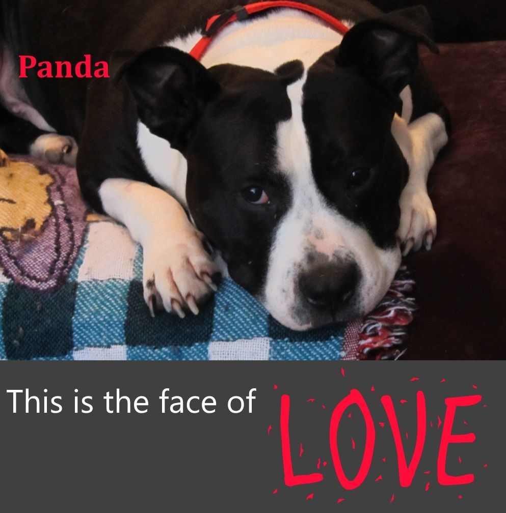 This Is Our Panda Boy He S A Pitbull Mix Cause He S Half