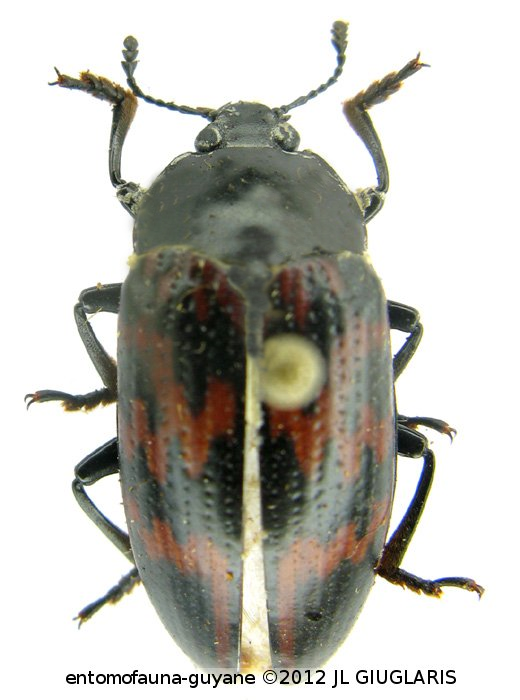 Pselaphacus curvipes
