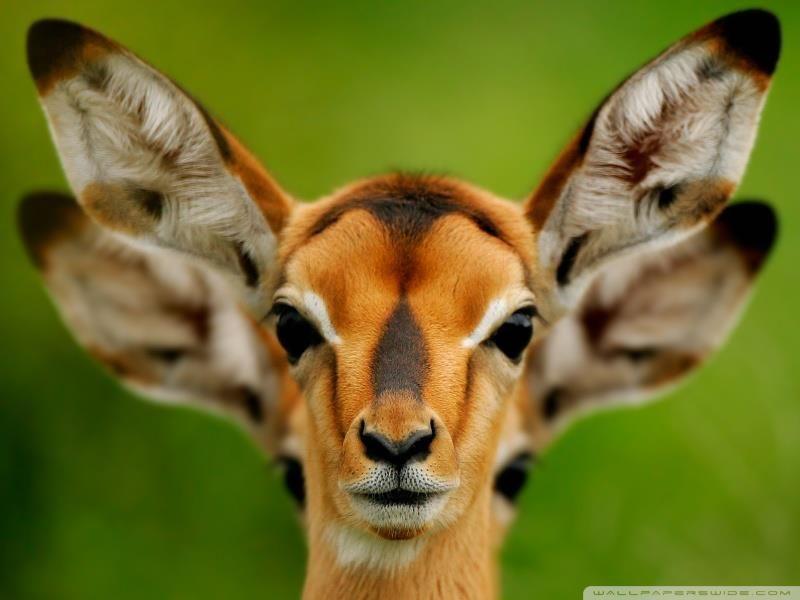Four ears!