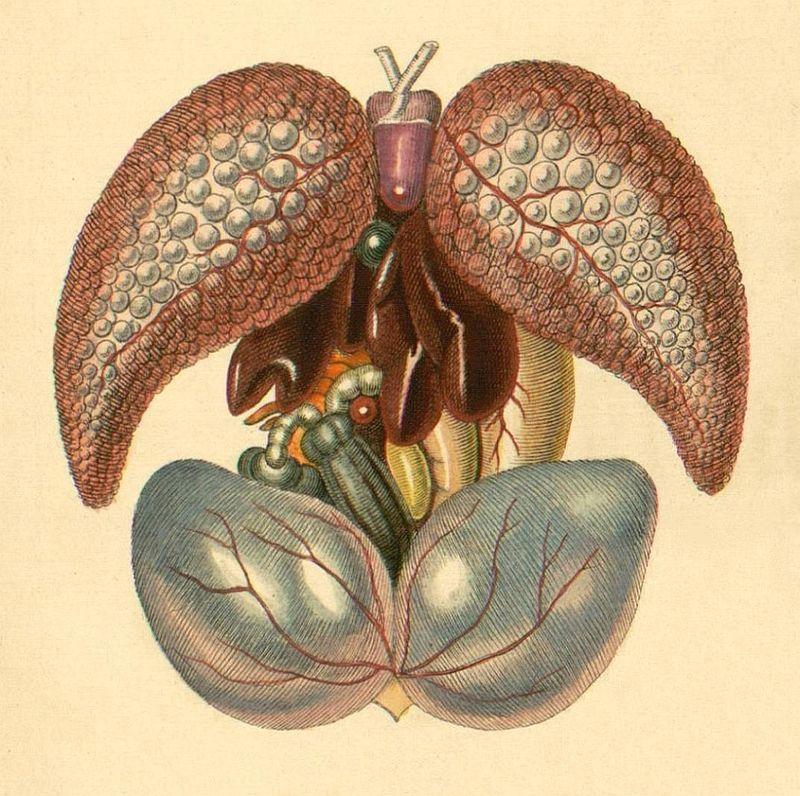 frog, dissection, internal organs, engraving, illustration | Science ...