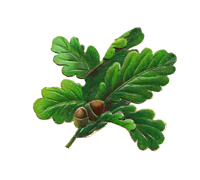 Antique Images Free Botanical Graphic Oak Leaves And Acorns Digital Scrap