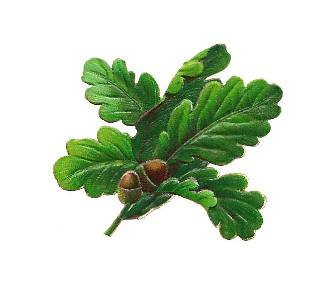 Antique Images: Free Botanical Graphic: Oak Leaves and Acorns Digital Scrap