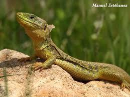 Resultado imagen para ver las fotos de lagartos