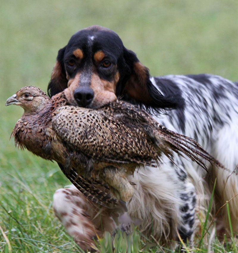 setter anglais chasse | Chiots Setter Anglais | Elevage du ...
