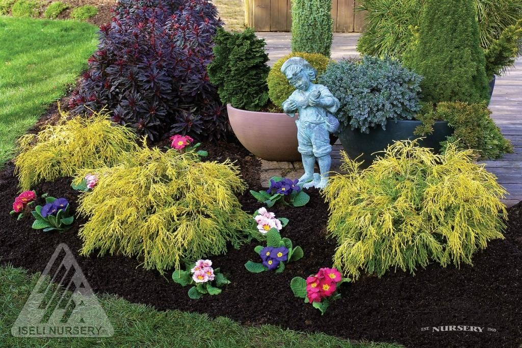King S Gold Cypress Evergreen Nursery Specializes In A