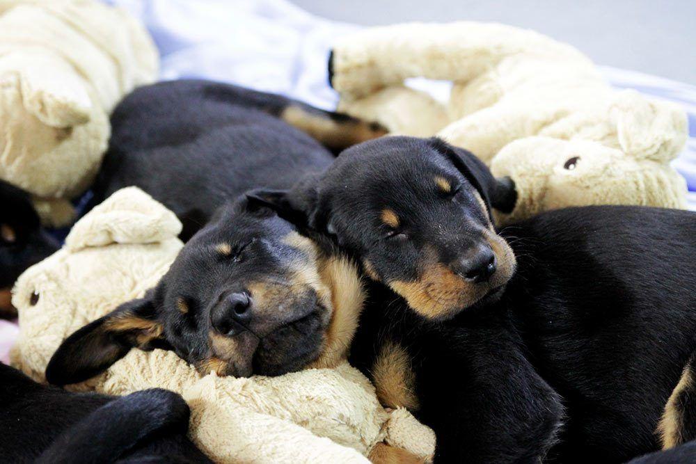 8 Woche Beauceron Welpen E Wurf Der Abschied Naht Welpen Hunde Hund Und Katze